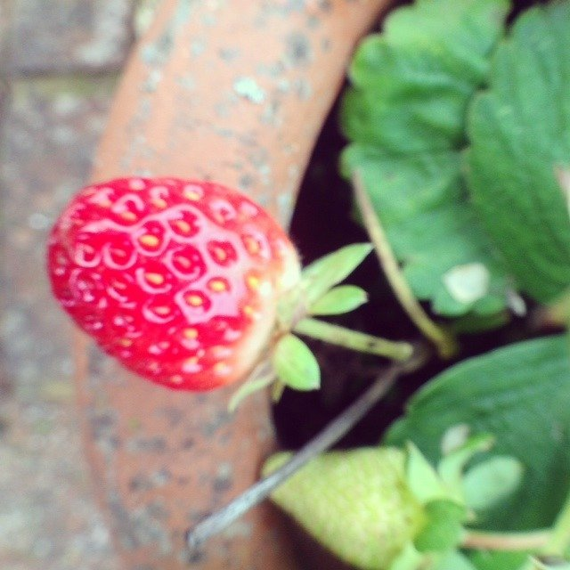 Enjoying the last of the summer strawberries! Guests at The Grove are welcome to try the harvest in the Walled Garden.