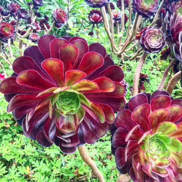 It never frosts in Scilly - which is why plants like this aeonium thrive.