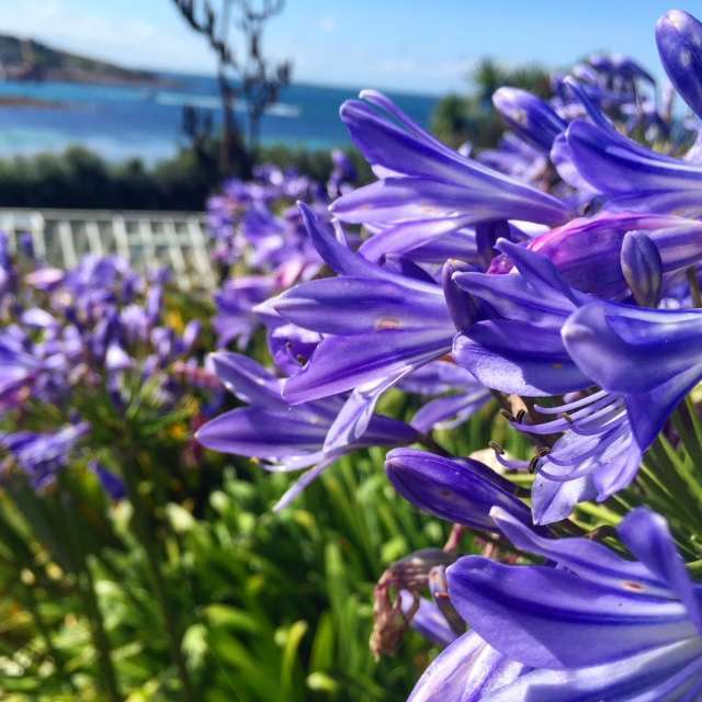 Agapanthus are everywhere on St Mary's, it reminds me of California!