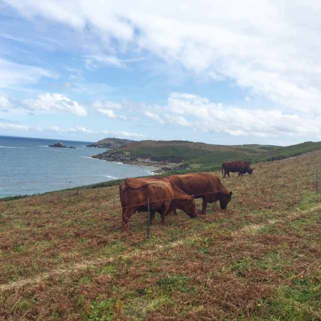 Scilly cows on St Martin's