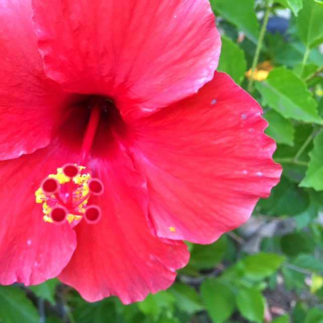 "2-year-old just asked what the caption to this photo of a hibiscus would be. She said .. and I quote ... ""You always write something cheesy"""