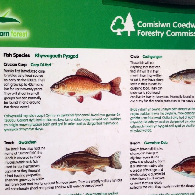 The manmade lake in the Cwmcarn Forest is stocked with 6 different species of fish, including perch.