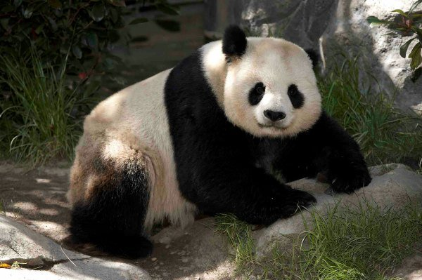Panda Gao Photo credit: San Diego Zoo