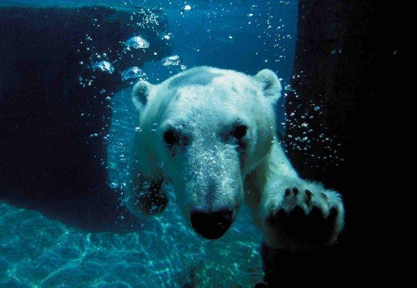 Polar bear Photo credit: San Diego Zoo