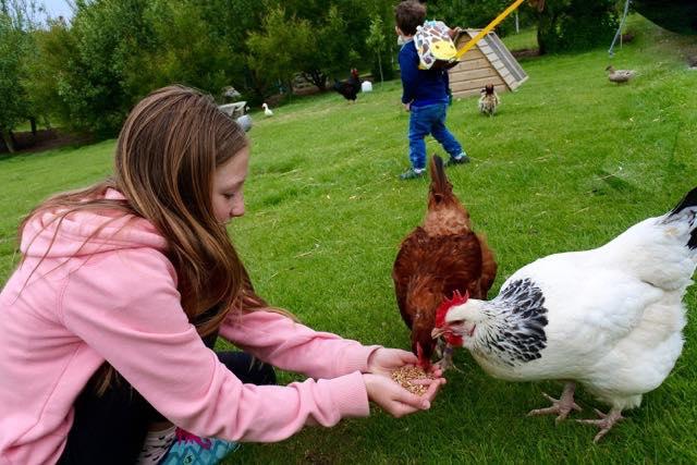 Feeding chickens!